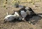 "Web Search: ""Bundy Cattle Killed"""